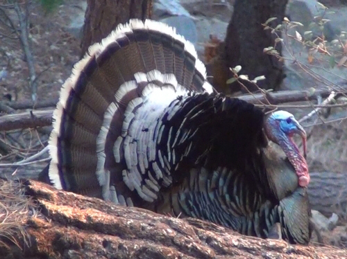 Arizona Gould's turkey