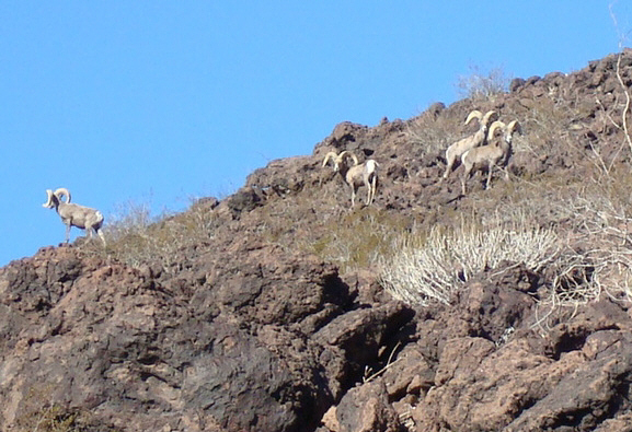 desert bighorn sheep bachelors