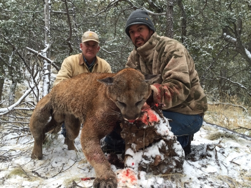 arizona mountain lion cougar hunting guides